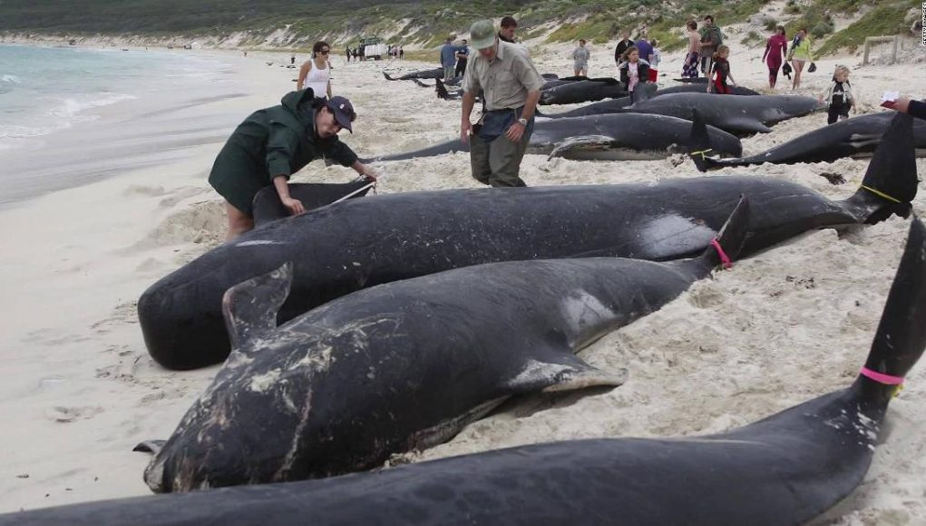 An estimated 380 whales die from stranding in Australia